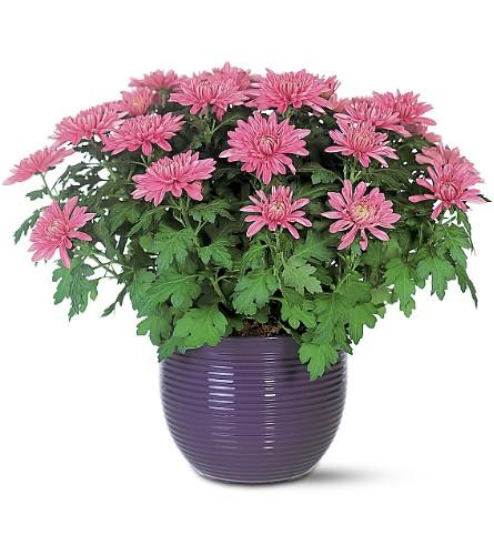 Chrysantheium morifolium